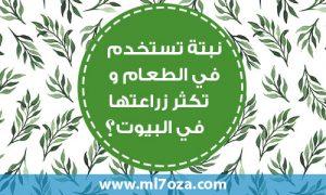 نبتة تستخدم في الطعام وتكثر زراعتها في البيوت