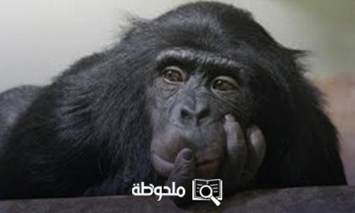 القردة الضائعة